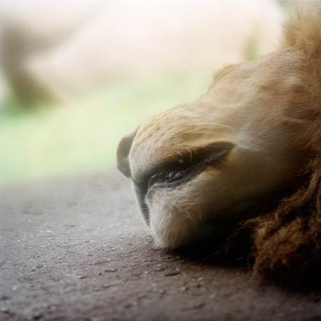 sleepinglion
