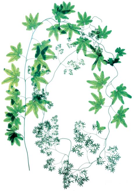 SCHIZAEACEAE Lygodium palmatum
